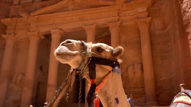 vídeos de stock e filmes b-roll de camels in front of the treasury at petra the ancient city al khazneh in jordan - petra