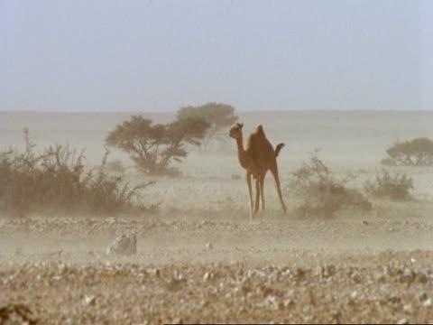 stockvideo's en b-roll-footage met camels in sandstorm outside fariq, oman - herbivoor