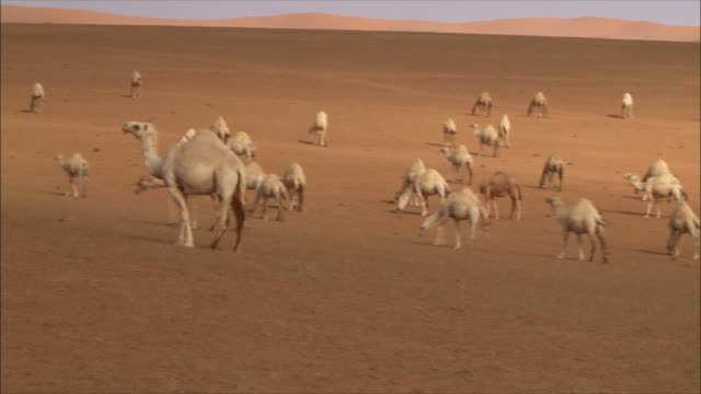 camels in saudi arabia - camel stock videos & royalty-free footage