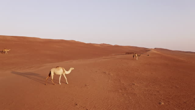 AERIAL Camels in the desert in Oman