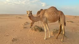 WS Camels in the desert