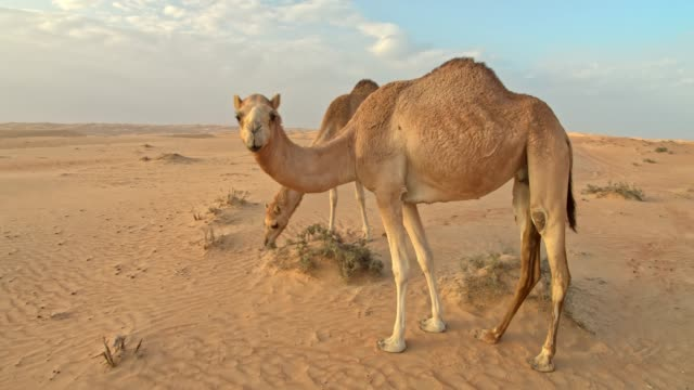 ws camels in the desert - camel stock videos & royalty-free footage