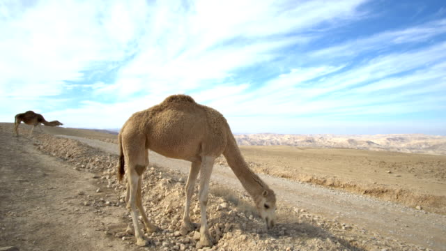 Camels in the Judean Desert under blue sky