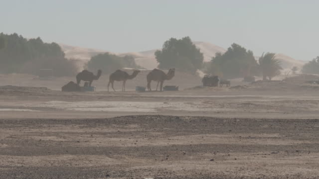 camels in the sahara desert during a sand storm - sandstorm stock videos & royalty-free footage