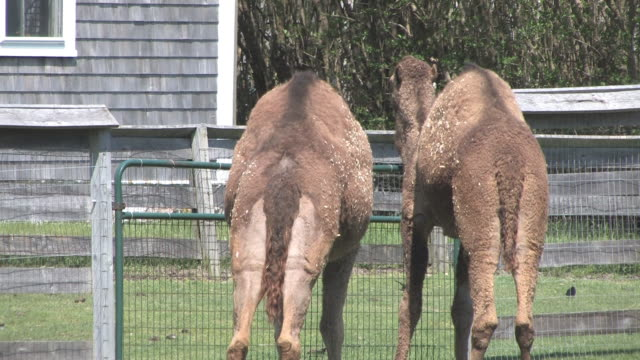 camels in the yard - hd 30f - hooved animal stock videos & royalty-free footage
