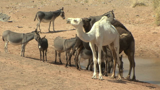 ws camels including rare white one and donkeys at watering hole, merzouga, morocco - distinguersi dalla massa video stock e b–roll