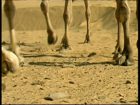 camels legs walk past on sand, cu, israel - vier tiere stock-videos und b-roll-filmmaterial