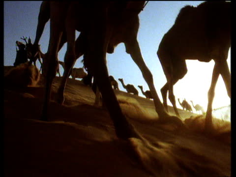 Camels marching through desert sands and straight over top of camera kicking sand over lens