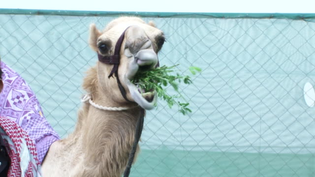 camels mcu view of a camel eating green leafy vegetation at a camel farm - bridle stock videos & royalty-free footage