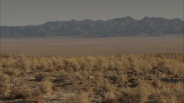 vidéos et rushes de camels moving through the desert - désert de gobi