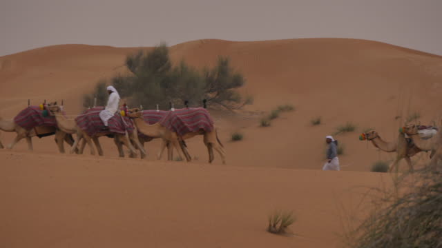 Camels on Desert Safari near Dubai, Dubai, United Arab Emirates, Middle East, Asia
