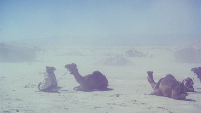 ws pan camels siting in small arab camp in desert - sandstorm stock videos & royalty-free footage