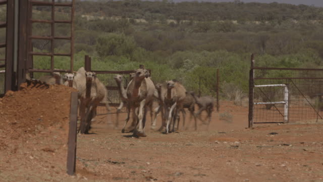 camels stand sided by side, northern territory - side by side stock videos & royalty-free footage