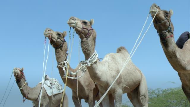 vídeos y material grabado en eventos de stock de camels standing in a row - grupo pequeño de animales