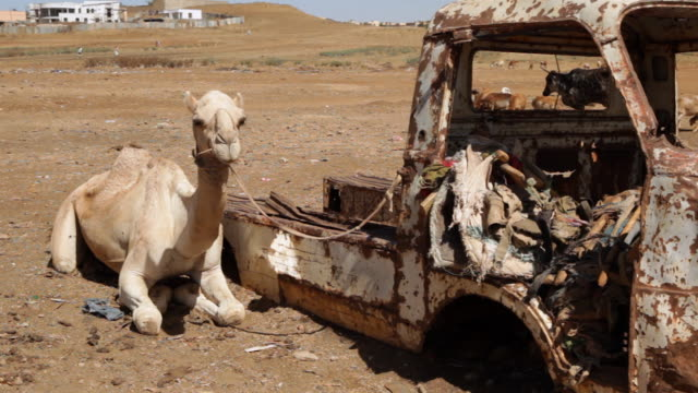 Camels standing near old cars Mendefera Eritrea on February 27 2013 in Mendefera Eritrea