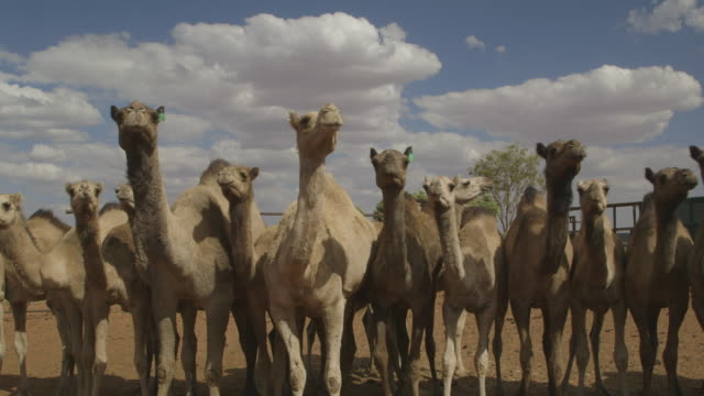 camels standing side by side, northern territory - side by side stock videos & royalty-free footage