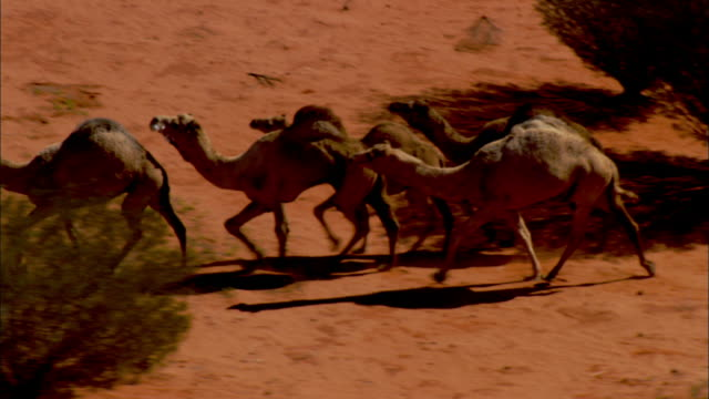 camels trot past trees in australia's simpson desert. - camel stock videos & royalty-free footage
