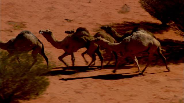 camels trot past trees in australia's simpson desert. - ラクダ点の映像素材/bロール