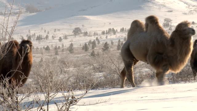 stockvideo's en b-roll-footage met camels - steppe