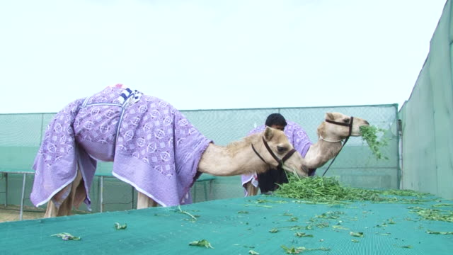 camels view of a keeper and two camels eating green leafy vegetation and wearing turnout blankets to keep them warm - bridle stock videos & royalty-free footage