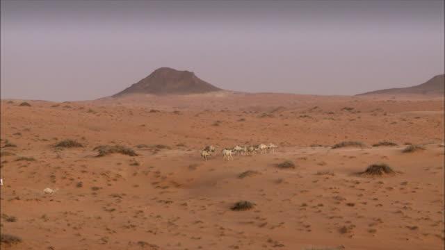 camels walking in the desert - saudi arabien stock-videos und b-roll-filmmaterial