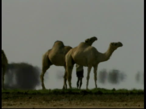 ms camels with person on grass at oasis, heat haze, kenya - heat haze stock videos & royalty-free footage