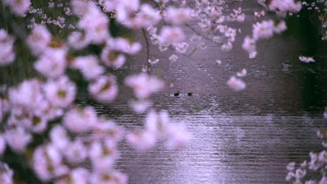 Camera captures a couple of ducks through the Cherry blossoms on the Meguro River.