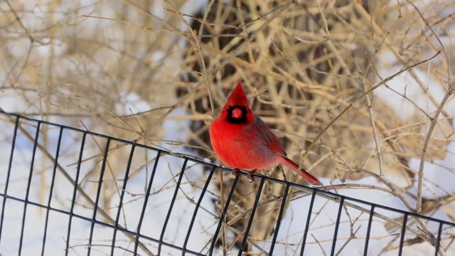 Camera captures a red wild bird at snowy lawn Central Park .