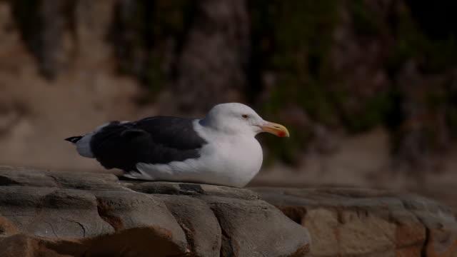 camera captures a seagull at la jolla beach in san diego, california. - beak stock videos & royalty-free footage