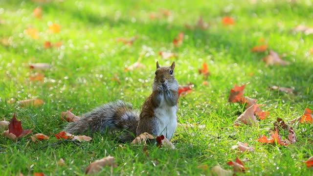 Camera captures a squirrel which is eating nuts at autumnal  Central Park lawn.