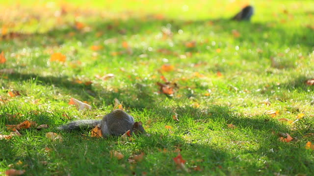 vídeos de stock, filmes e b-roll de camera captures a squirrel which is eating nuts at autumnal  central park lawn. - dois animais