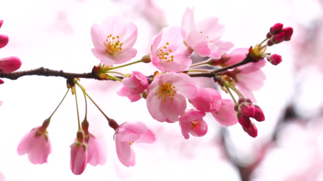 vídeos y material grabado en eventos de stock de camera captures cherry blossom in national theatre of japan at japan cherry blossom festival. - florecer