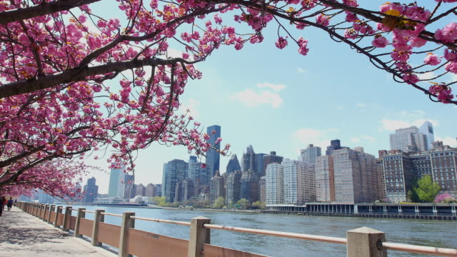 tu camera captures cherry blossoms and queensboro bridge in front of manhattan from promenade beside east river at roosevelt island. - promenade stock videos & royalty-free footage