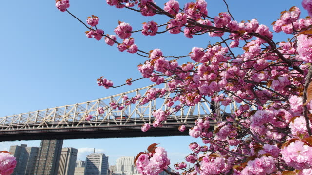 camera captures cherry blossoms and queensboro bridge in front of manhattan from promenade beside east river at roosevelt island.cars run on the bridge. - クイーンズボロ橋点の映像素材/bロール