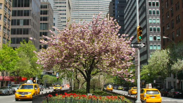 TU Camera captures cherry blossoms tree and Manhattan  traffic at Midtown office district at Park Avenue.