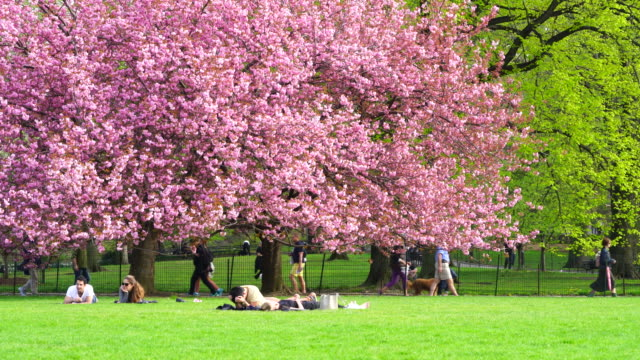 camera captures people at front of cherry blossoms trees at the great lawn in central park new york. people walk and run behind cherry blossoms tree. - great lawn stock videos and b-roll footage