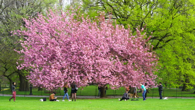 Camera captures people at front of Cherry blossoms trees at the Great Lawn in Central park New York. People walk and run behind Cherry blossoms tree.