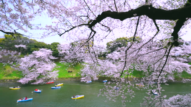 Camera captures people enjoy boat  at Chidorigafuchi moat, which are surrounded by in Cherry blossoms.