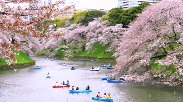 vídeos de stock e filmes b-roll de camera captures people enjoy boat at chidorigafuchi moat, which are surrounded by in cherry blossoms. tokyo cityscape can be seen behind moat. - flor de cerejeira