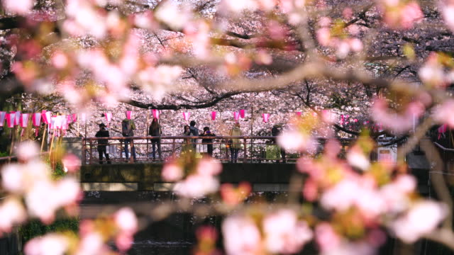 camera captures people on the bridge through the cherry blossoms and rows of cherry blossoms trees along the both riverbank at meguro river.rows of cherry blossoms trees surround the bridge and river.many paper lanterns hang at riverbank and shake. - 伝統行事点の映像素材/bロール