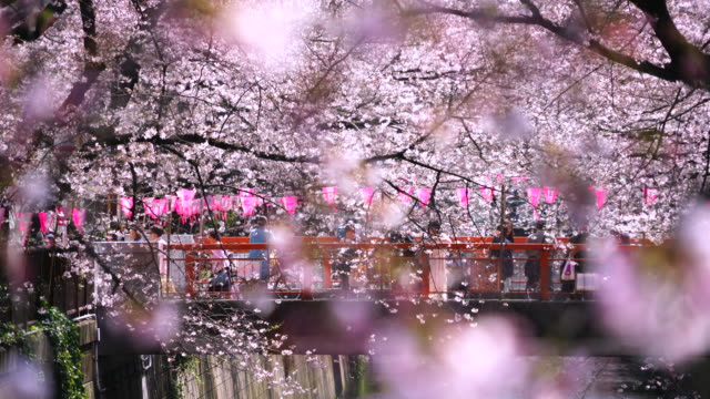 Camera captures people on the bridge through the Cherry blossoms and rows of Cherry blossoms trees along the both riverbank at Meguro River.Rows of Cherry blossoms trees surround the bridge and river.