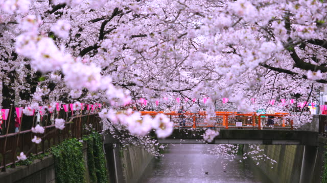 camera captures people on the bridge through the cherry blossoms and rows of cherry blossoms trees along the both riverbank at meguro river.rows of cherry blossoms trees surround the bridge and river. - ワイドショット点の映像素材/bロール
