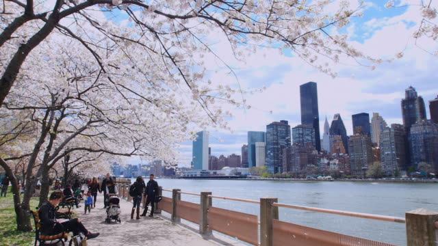 camera captures row of cherry blossoms trees and fluttering petals at promenade beside east river at roosevelt island.manhattan skyscrapers can be seen behind which are covered by clouds.people walk down the promenade. - promenade stock videos & royalty-free footage