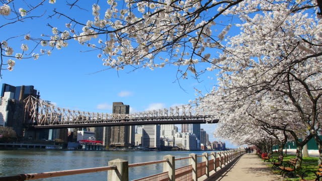 tu pan camera captures row of cherry blossoms trees and manhattan skyscrapers and queensboro bridge at promenade beside east river at roosevelt island. - promenade stock videos & royalty-free footage