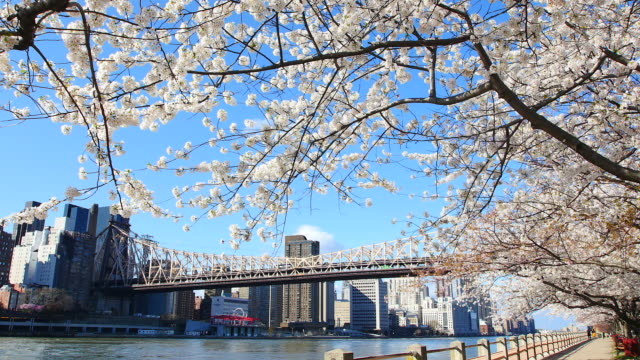 tu camera captures row of cherry blossoms trees and manhattan skyscrapers and queensboro bridge at promenade beside east river at roosevelt island. - クイーンズボロ橋点の映像素材/bロール