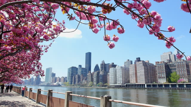 pan camera captures row of cherry blossoms trees and manhattan skyscrapers and queensboro bridge at promenade beside east river at roosevelt island. - blossom stock videos & royalty-free footage