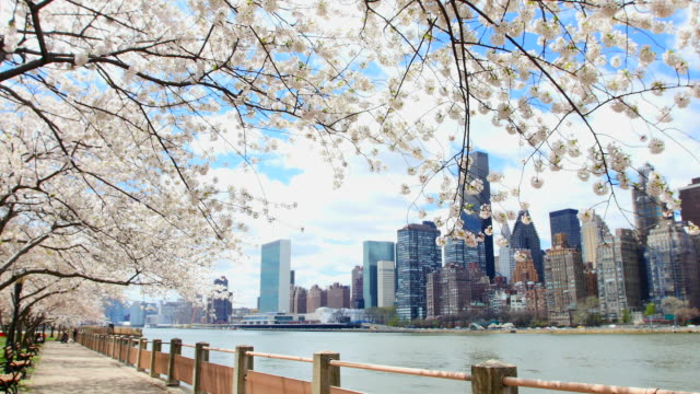Camera captures row of cherry blossoms trees and Manhattan skyscrapers at promenade beside East River at Roosevelt Island.
