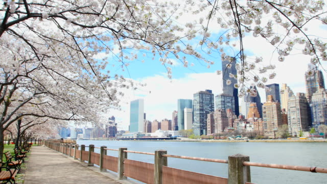 pan camera captures row of cherry blossoms trees and manhattan skyscrapers at promenade beside east river at roosevelt island. - promenade stock videos & royalty-free footage
