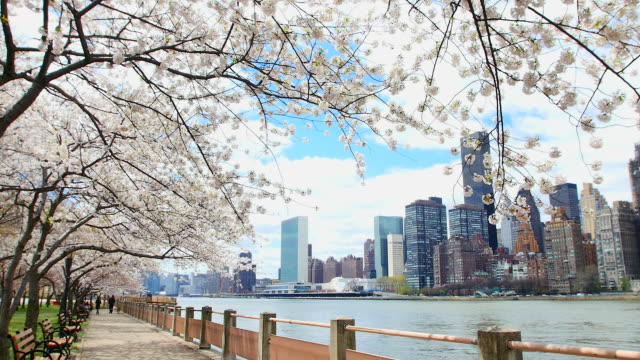 pan camera captures row of cherry blossoms trees and manhattan skyscrapers at promenade beside east river at roosevelt island. queensboro bridge can be seen in far right hand side. - promenade stock videos & royalty-free footage