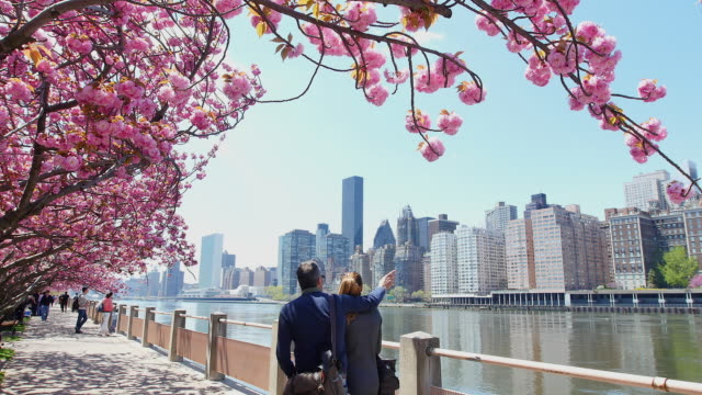Camera captures row of cherry blossoms trees and Manhattan skyscrapers at promenade beside East River at Roosevelt Island.A couple walk down the promenade which are surrounded by cherry blossoms.